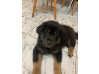 Tibetan mastiff pup