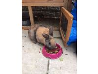 Male rabbit free to a good home. Sold