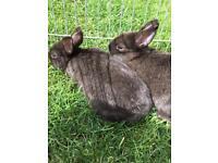 Black Netherlands dwarf bunnies