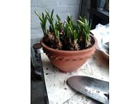 garden hanging terracotta pot with narcissi about to bloom