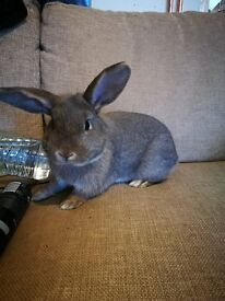 Young male rabbit born July '16 - £15 on condition