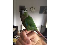 Young hand reared Maroon Bellied Conure