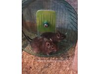 Female degus with cage tame