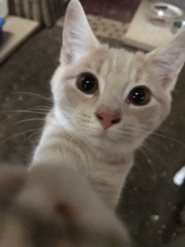 Light ginger kitten for sale