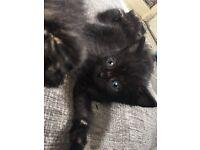 Male kitten 1