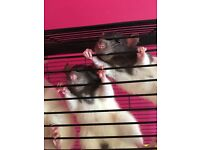 Baby rats 13 weeks old.