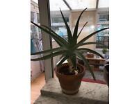 Big aloe Vera plant