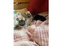 Beautiful pedigree chihuahua pups