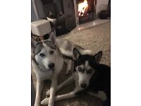 6 Siberian huskies for sale