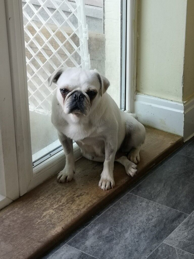 Kc Reg White Pug For Rehoming In Pulborough West Sussex Gumtree