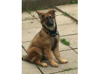 German Shepherd (Female)