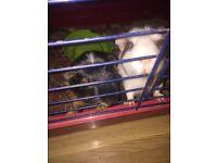 2 female Guinea pigs
