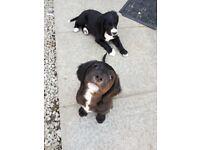 English foxhound x english pointer puppies