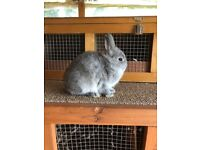 Baby pure bred Netherland dwarf rabbits