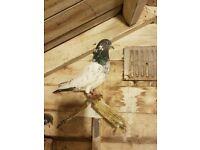 Pigeons for sale pakistani ferozpuri