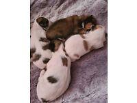 Lhasa apso puppies kc reg