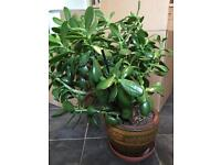 Jade Money Tree Plant