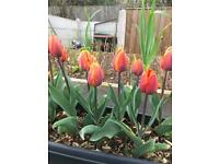 Tulip plants - Various