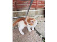 Cute Cross Ragdoll Kittens