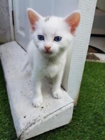 Cross bengal kitten for sale