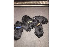 5 beautiful poodle pups ready in 4 weeks girl and boys available call 07305807168 for more details