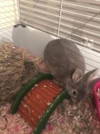 Netherland dwarf rabbit for sale