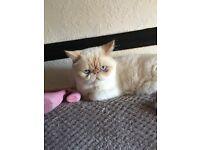 Exotic/ Persian kittens