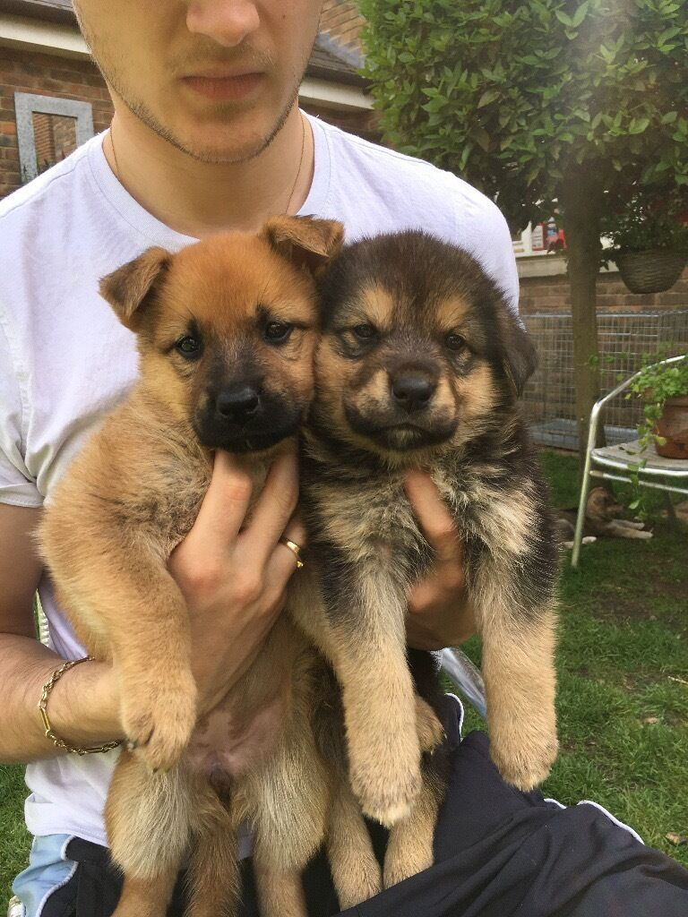 Beautiful German Shepherd X Akita X Rottweiler Puppies 2 Girls