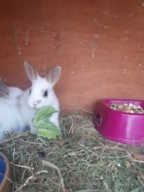 Rex x baby rabbits for sale