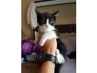 1 female kitten for sale