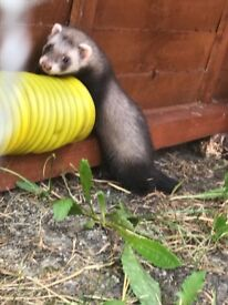 7 small ferrets for sale