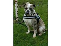 URGENT!!? 2years old male alpha bulldog shadow needs new home ASAP!!