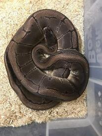 3 year old male pinstripe royal python for sale
