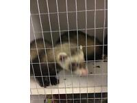 Ferrets/Polecats for sale