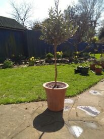 Olive tree in a Yorkshire terracotta pot, frost proof.