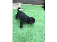 F1 Labradoodle puppy's Only 6 Left