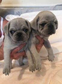 Beautiful Kc pug puppies from health tested parents ready this week