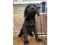 Working black Labrador puppie