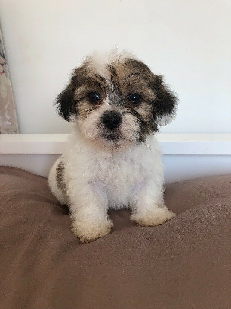6 Beautiful Shih Tzu Cross Yorkie Puppies For Sale In Redbridge