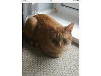 Missing neutered ginger cat Stockton Fairfield area