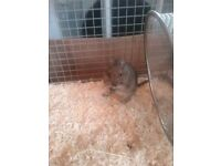 X2 female degus and cage,food,hay,wood chip