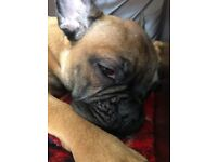 French Bulldog puppies looking for their forever homes 1 bitch and 4 dogs