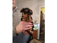 Gorgeous Purebred Yorkshire Terrier Puppies Looking for Forever Homes