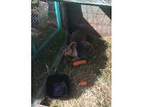 Last of litter baby boy bunnies