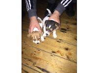 Miniature pedigree Jack Russell girls 10 weeks old for sale