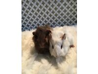 2 gorgeous female guinea pigs