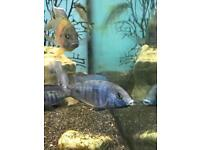 Dolphin and fire Fish Cichlid