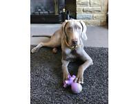 Girl Weimaraner Pup 8 Months Old