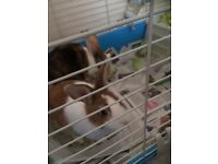 Two cute rabbits for sale