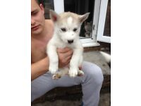 Siberian husky puppy's for sale